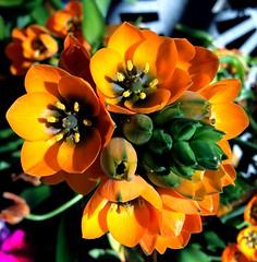 IMG_1520e - Orange Flowers