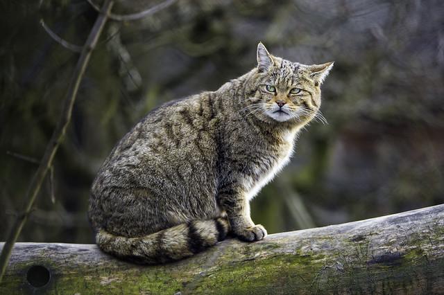 Wildcat sitting on the log