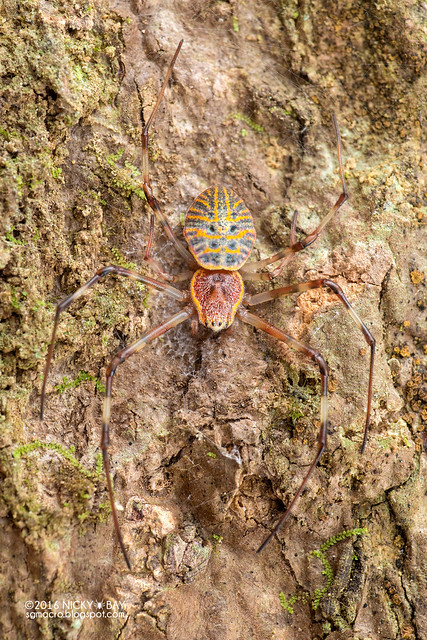 Ornamental tree trunk spider (Herennia sp.) - DSC_7745