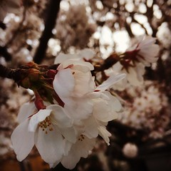 overcast today...on the way to the market❤︎  #cherryblossom #osaka #minoo #latergram #桜 #大阪 #箕面