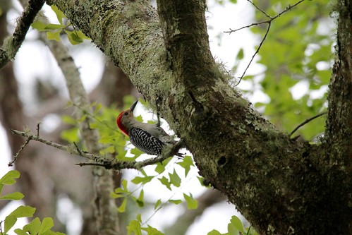 park bird woodpecker state florida wildlife historic battlefield olustee