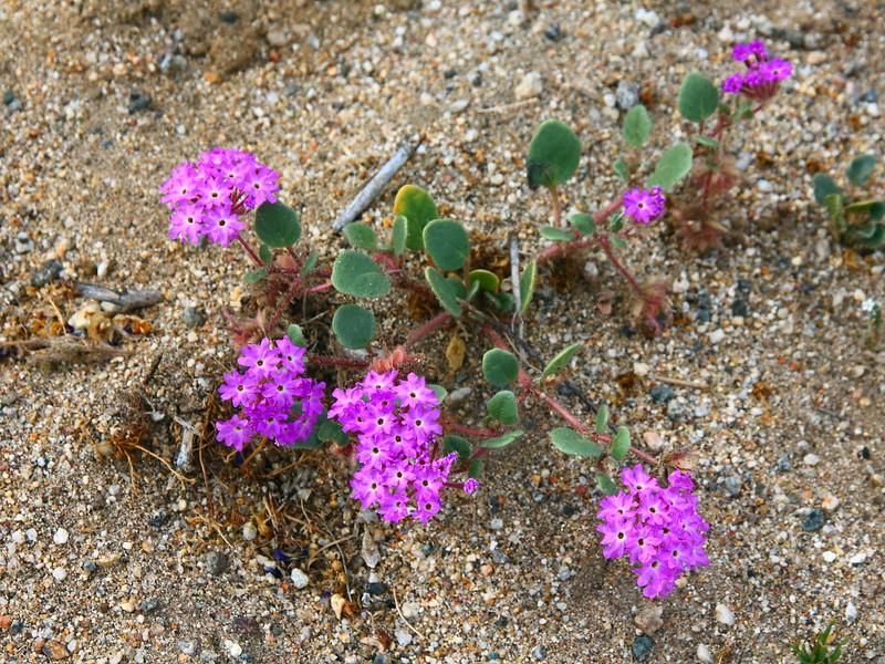 IMG_2602 Desert Sand Verbena