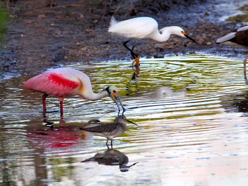 Roseate Spoonbill HDR 02-20160410