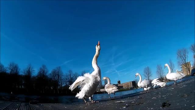 one swan minute