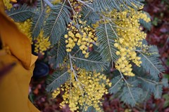 01.02.15 • yellow...pour sortir de la grisaille du week-end, rien de tel qu'une balade, bien couverte, et surtout ne pas oublier ses sécateurs pour embaumer la maison de ce parfum de mimosa