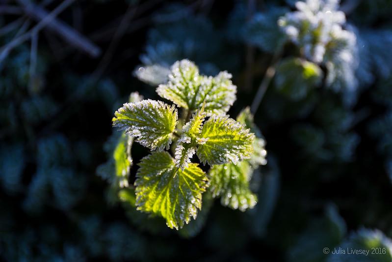 Frosty Nettle