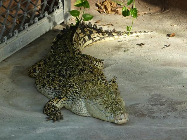 Krokodil, Wilhelma
