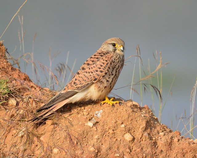 Common kestrel