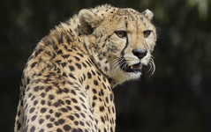 Smithsonian National Zoo Mar 9 2016  (667) Cheetah