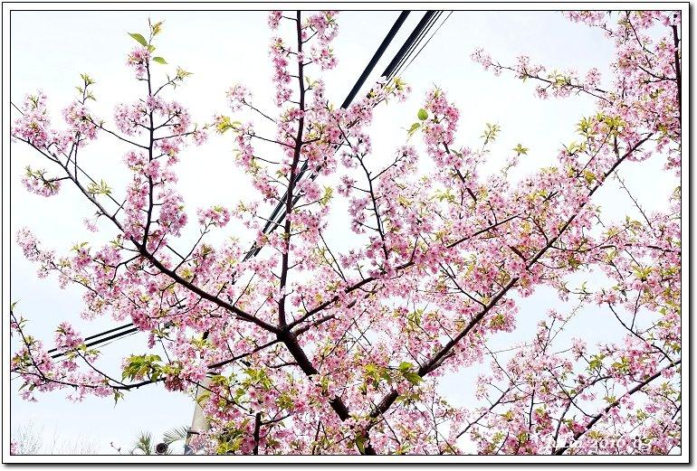 麗池公園河津櫻 (9)