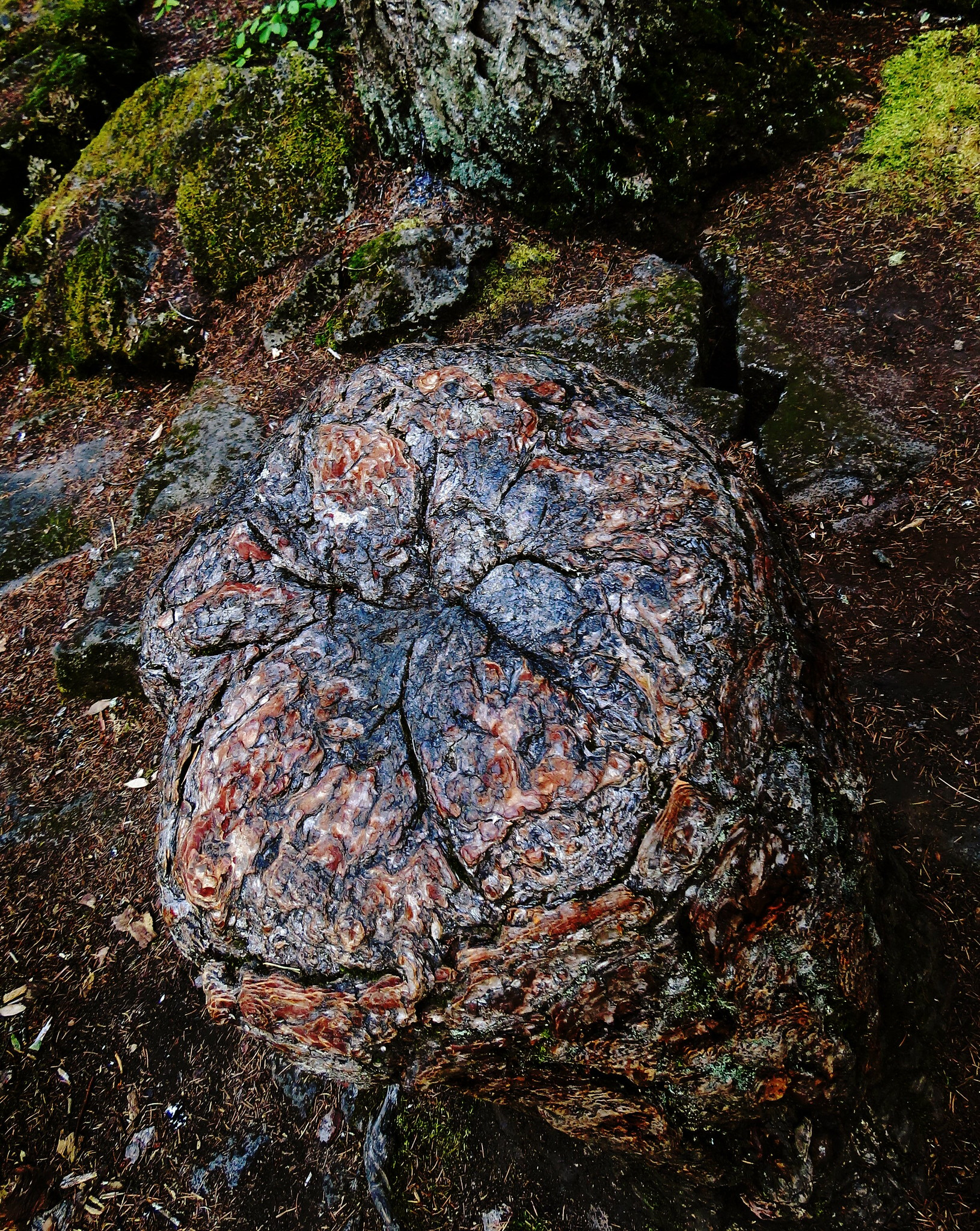 The Living Stump of Douglas-firs, Rogue Gorge, Oregon