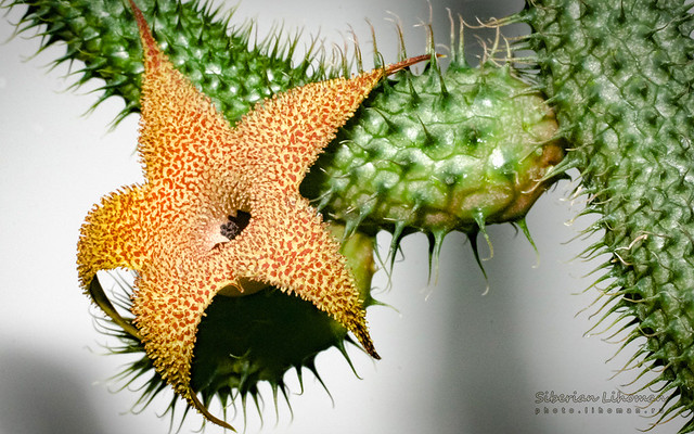 Huernia pilansii - flower with stem