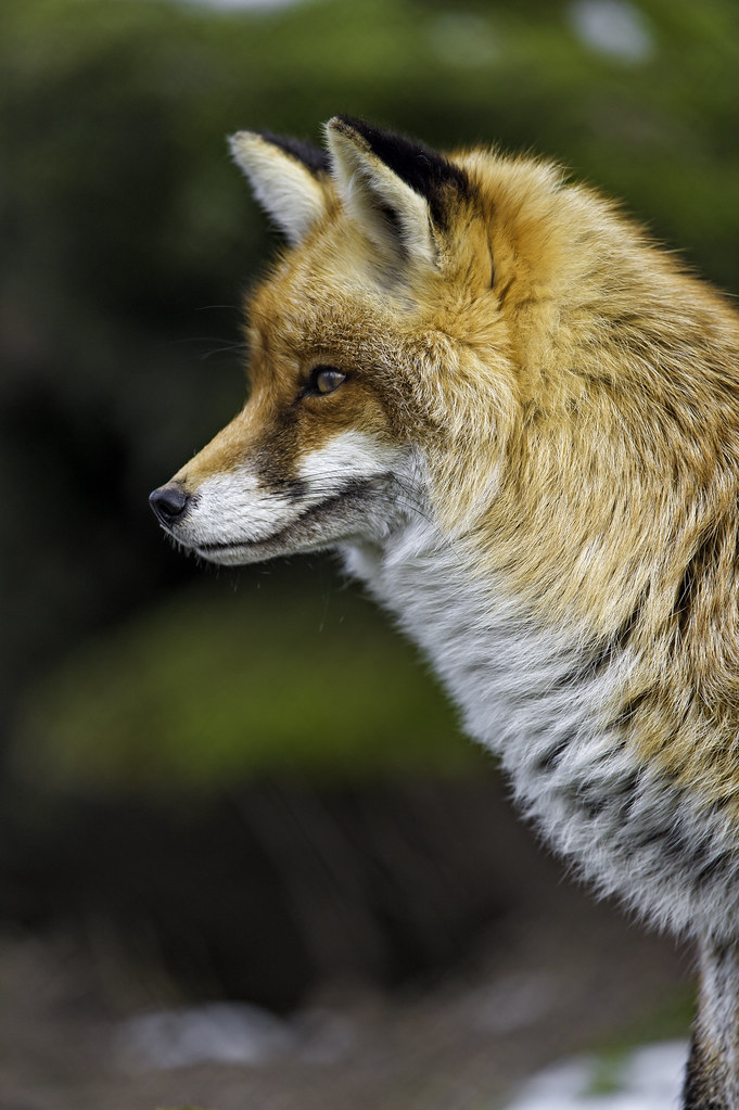 Close profile of a vixen
