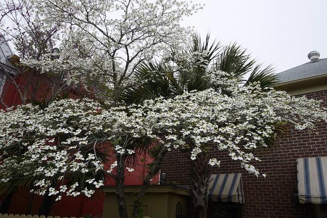 日, 2016-03-20 16:37 - ドッグウッド Dogwood Flower