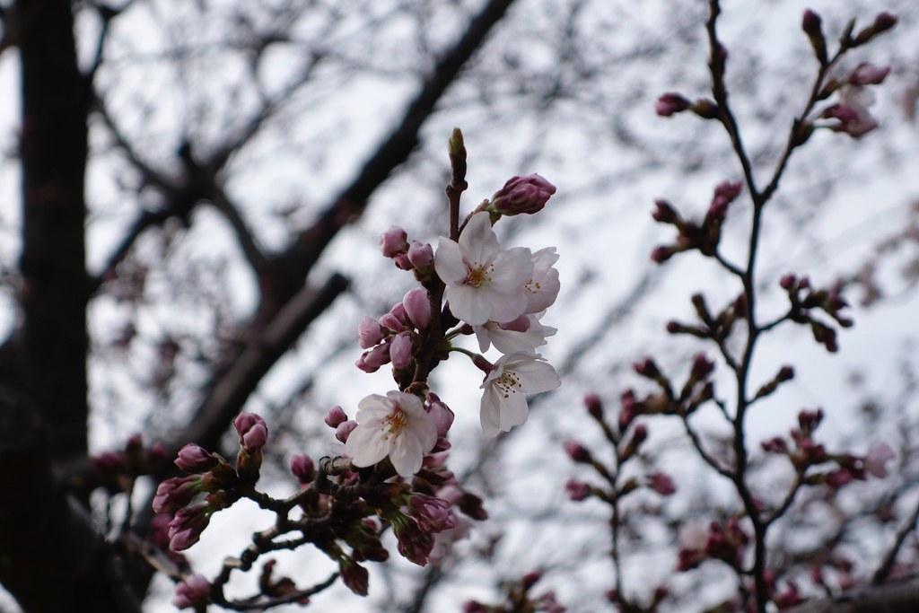 桜 × RX100 M2