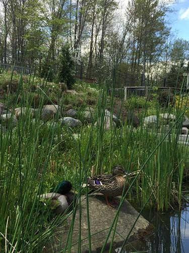 inniswoods ducks