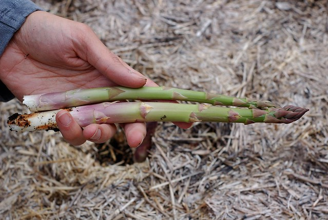 First asparagus by Eve Fox, the Garden of Eating, copyright 2016