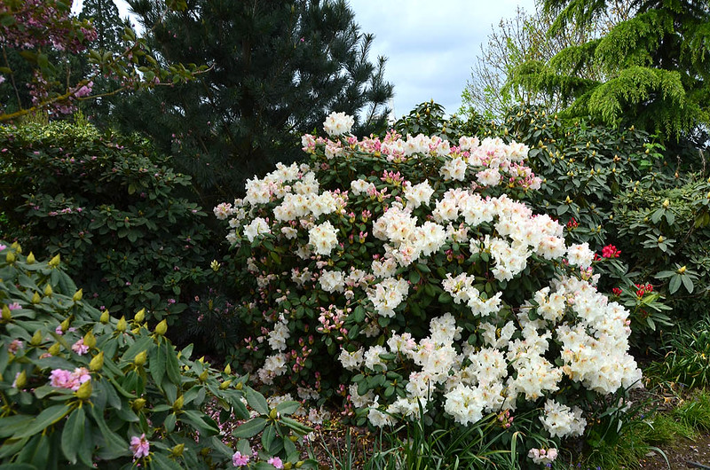 rhododendron5