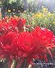 Cactus Blooms 8x10