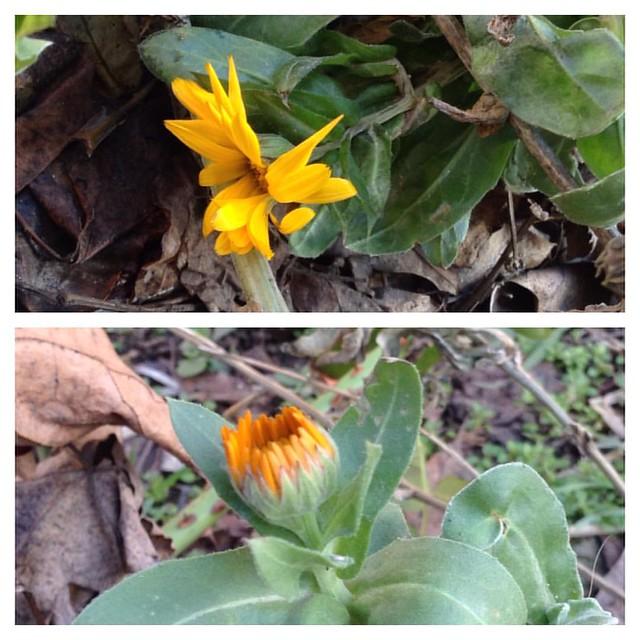 Неубиенные цветки- ноготки, а ведь у нас была неделя морозов ниже минус 10! #старыйкрым