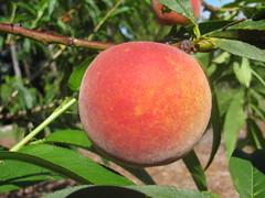 starr-140614-4508-Prunus_persica_var_persica-Tropic_Beauty_fruit-Hawea_Pl_Olinda-Maui