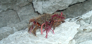 Adam Steele - It's a Crab! - New Zealand