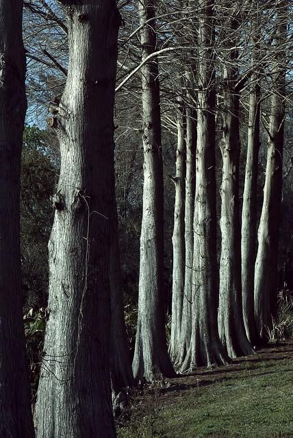 Winter Cypress 1