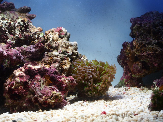 P3242254 榔頭珊瑚