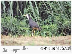 白腹秧雞-01