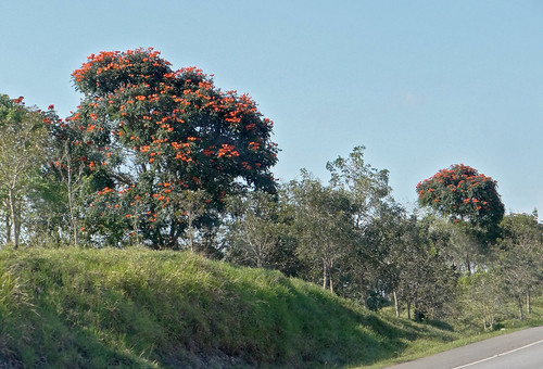 road dominicanrepublic floweringtree spathodeacampanulata
