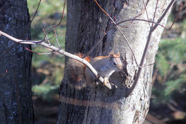 Red Squirrel (tree)