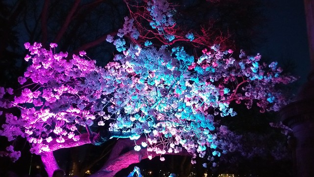2016-Apr-1 - Sakura Illumination