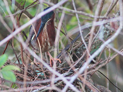 Green Heron with eggs 20160408