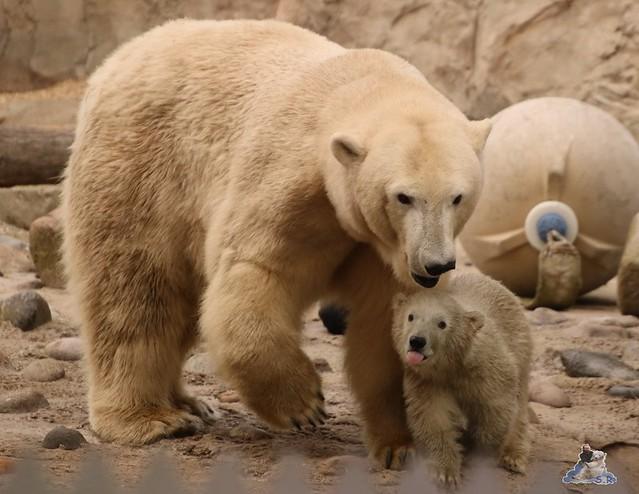 Eisbär Lili im Zoo am Meer Bremerhaven 09.04.2016 Teil 2  0119