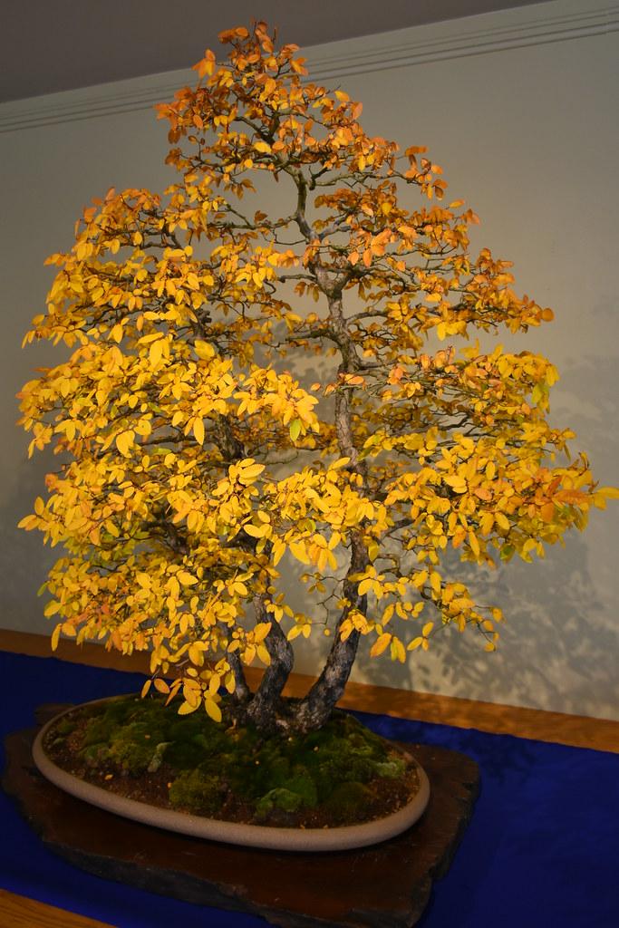 Bonsai Tree Yellow Leaves Bonsai Tree