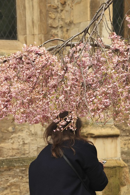 Pink Blossom tree in cambridge