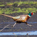 Fast foot - (Ring-necked Pheasant) by hyu767