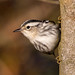 BJ8A4429-Black and White Warbler