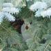 White tailed Jackrabbit by philNm