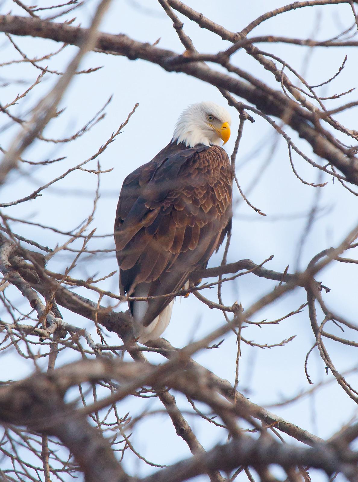 Bald Eagles in Iowa City
