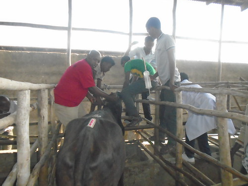 Researchers at Andassa Livestock center, Ethiopia, drenching a cow with sex-fixer preparation 30 minutes  before AI