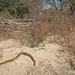Eastern Diamondback Rattlesnake (Crotalus adamanteus) by Jake M. Scott