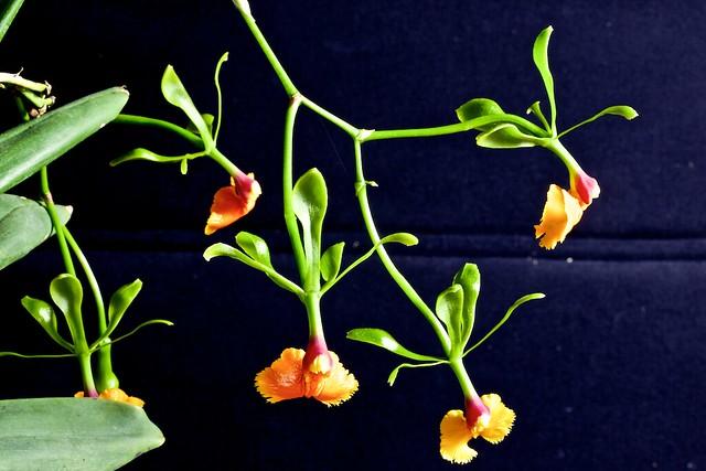 Epidendrum pseudepidendrum 24358481329_3c897fa935_z