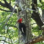Do, 17.12.15 - 15:05 - Carpintero Gigante - Robust Woodpecker - Scharlachkopfspecht