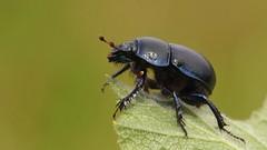 Dor beetle ~ Geotrupes stercorarius