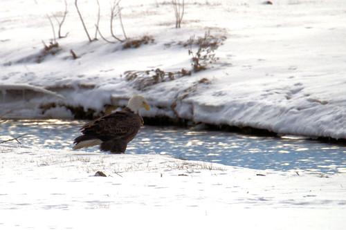 snow bird america canon eagle baldeagle tamron t3i 150600