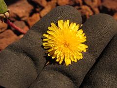 starr-150507-1794-Taraxacum_officinale-flowers-Science_City-Maui