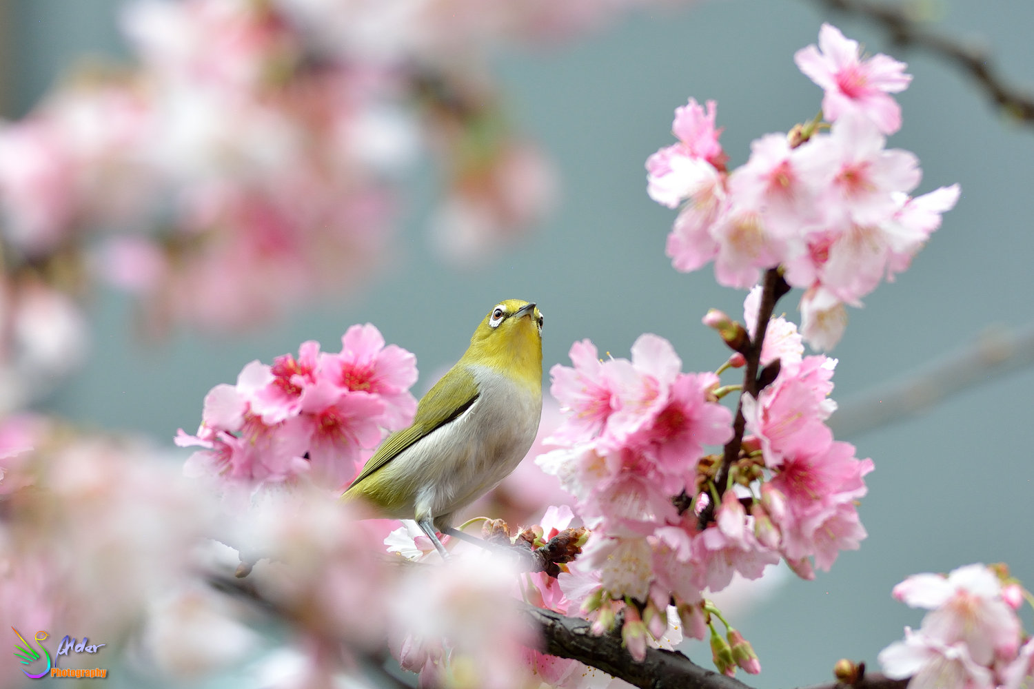 Sakura_White-eye_6449