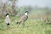 Spur-winged Plover, Ethiopia