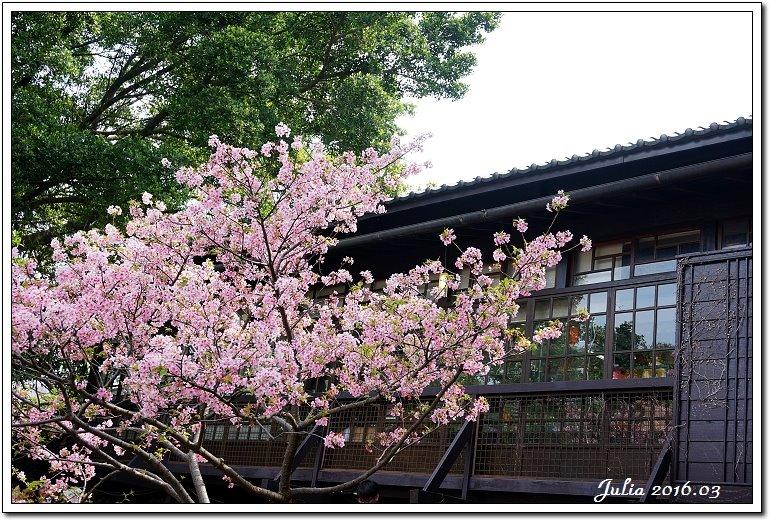 麗池公園河津櫻 (6)